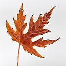 Fall Color Maple Leaf by lisavonbiela
