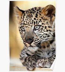 Snow Leopard Kitten Poster