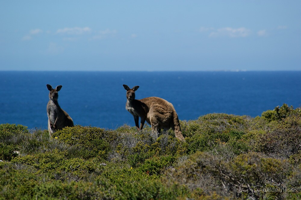 Curious Kangaroos  by wilderness