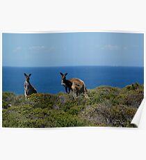 Curious Kangaroos  Poster