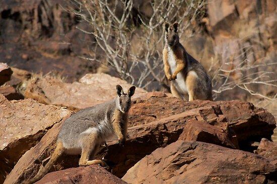 Yellow Footed Rock Wallabies, Flinders Ranges  by wilderness