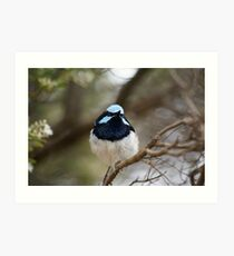 Blue Wren  Art Print