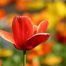 Red tulip by JaimeWalsh