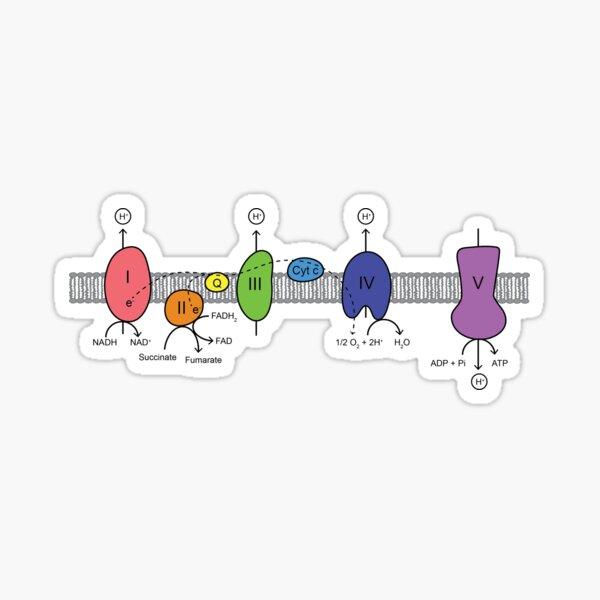 Electron Transport Chain Sticker