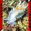 Alabaster Nudibranch  by naturediver