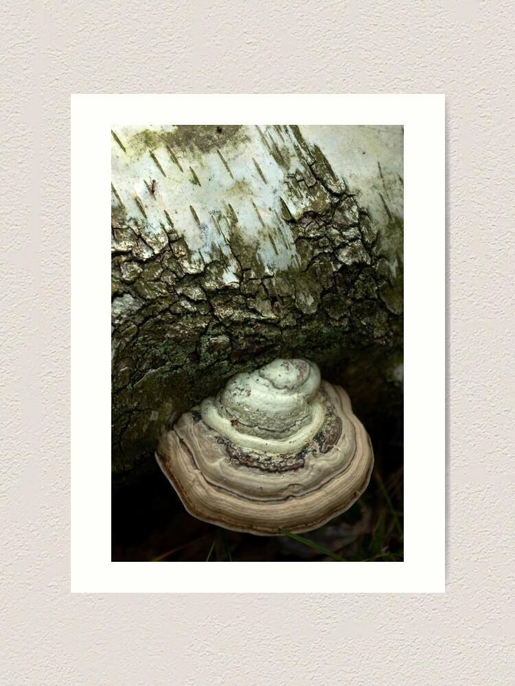 Alternate view of Birch and bracket fungi  Art Print