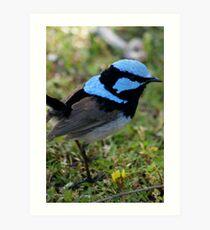 Superb Blue Male Wren Art Print
