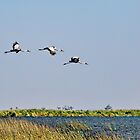 Wattled Cranes in Flight by Kay Brewer