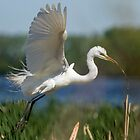 Great Egret 2014-1 by Thomas Young