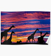 zebra and giraffes resting in the sunset Poster