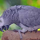 African Grey by Jeff Ore