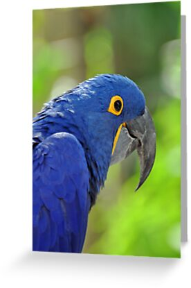 Hyacinth Macaw by Jeff Ore
