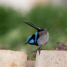 Blue wren by Norman Winkworth