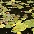 Water Lily in pond, Photograph by Vic Potter by Vic Potter