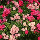 Pink and red roses, photograph by Vic Potter by Vic Potter