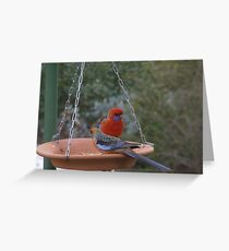 I know I'm Beautiful! Red breasted Rosella Sth. Australia. Greeting Card