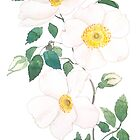 white wild Rosa rubiginosa watercolor by ColorandColor
