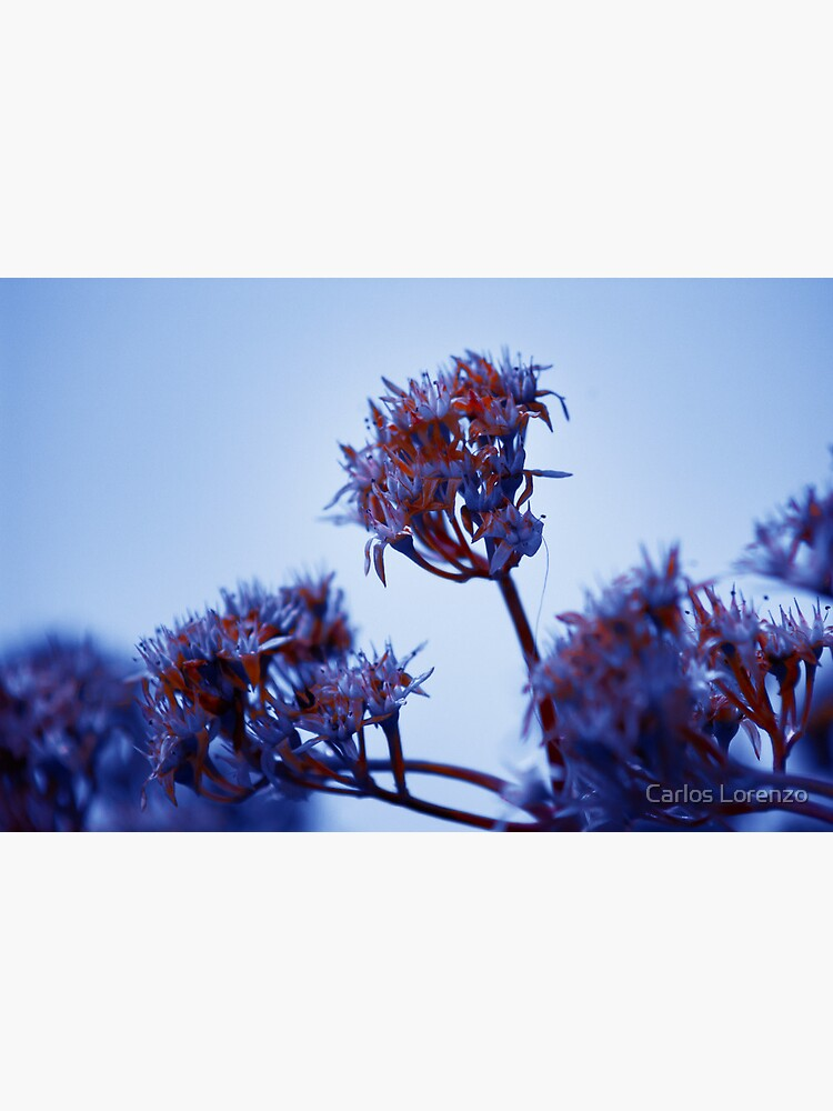 Cold Flowers by carloslorenzo