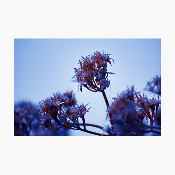 Cold Flowers Photographic Print