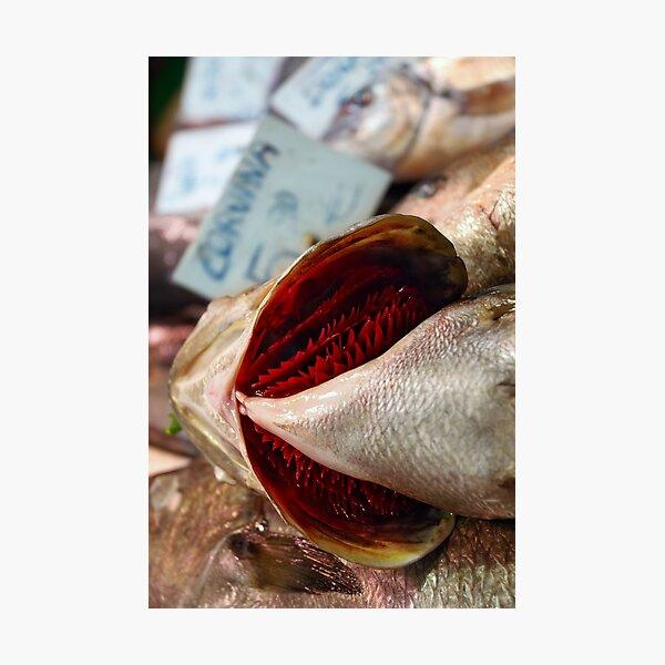 Corvina Fish Photographic Print