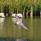 Approaching Spoonbill by TJ Baccari Photography