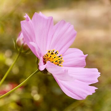 AFE Pink Cosmos  by afeimages1