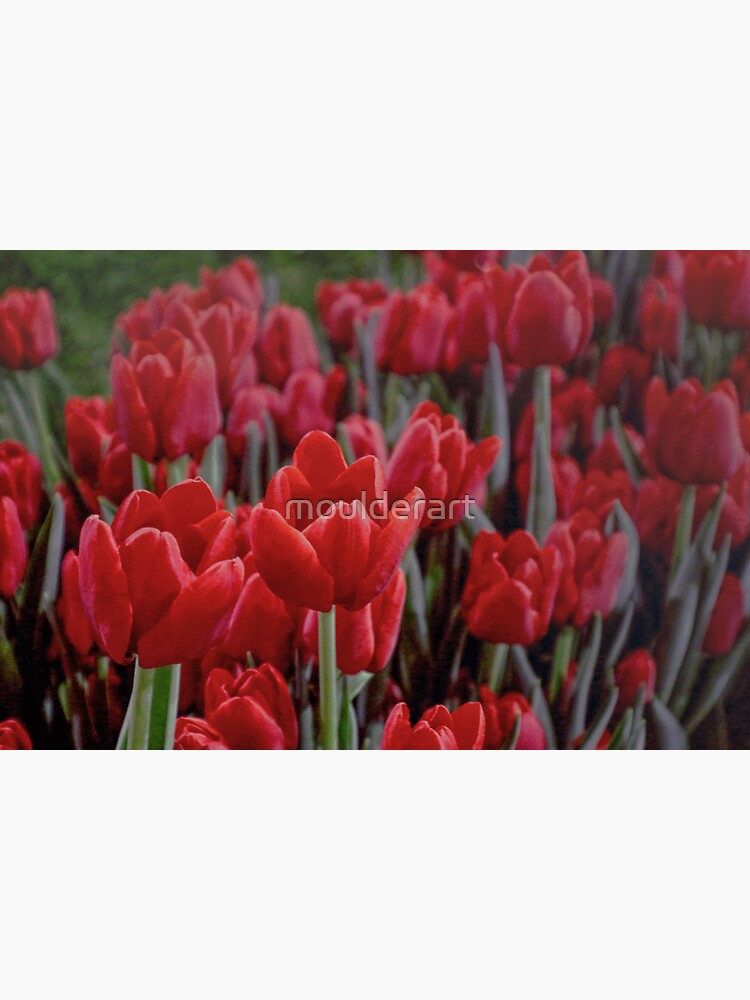 Red Tulips Close Up by moulderart