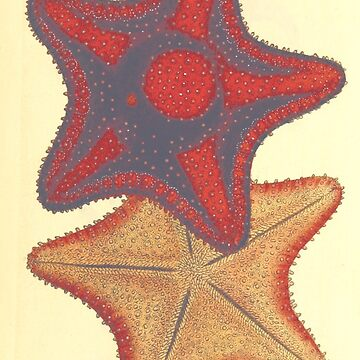 Reprint of a vintage sketch from the 1800s sea stars marine life by ACoetzer