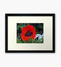 First Poppy of the Season in Mo's Garden 3 Framed Print