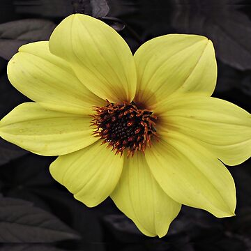 Dark Leaf Dahlia by ethna