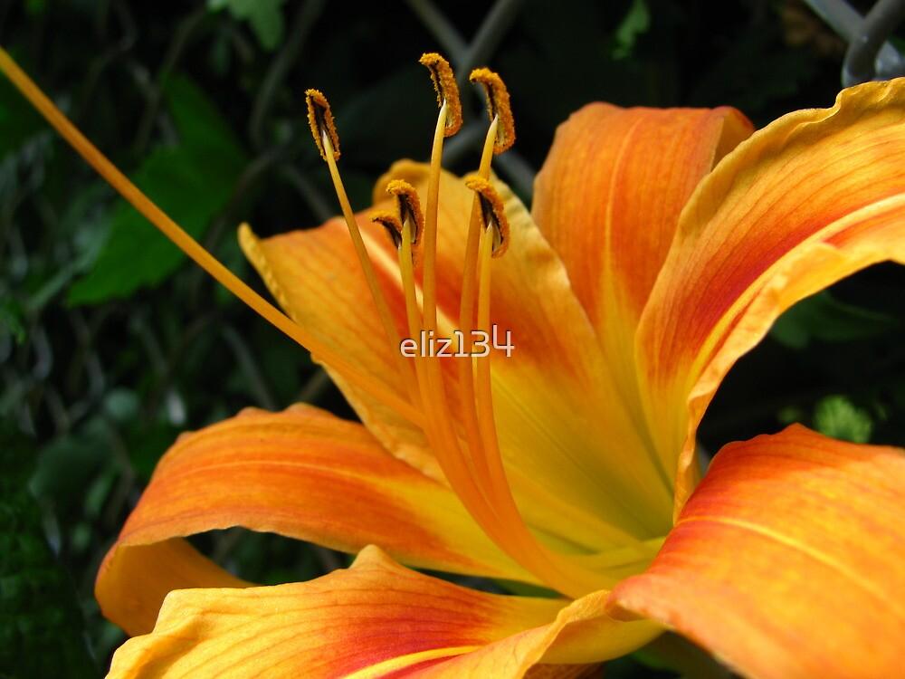 Daylily by eliz134