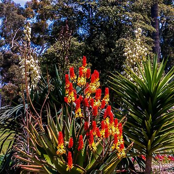 Red hot pokers by indiafrank