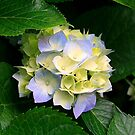 Hydrangea by Charuhas  Images