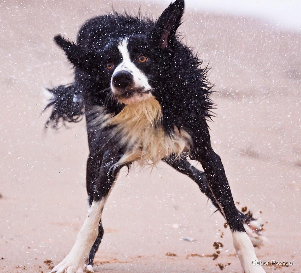 Crazy dog shaking after having a swim by Gabor Pozsgai