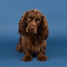 Sitting Sussex Spaniel by SMiddlebrook