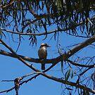 Kookaburra At Hanging Rock by lezvee