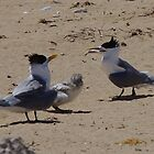 Family Meal (Greater Crested Terns) by lezvee
