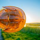 Horseshoe Crab Shell | Nissequogue, New York by © Sophie W. Smith