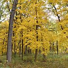Autumn Maple Trees by Kathleen Brant