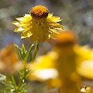 """Xerochrysum bracteatum """"Golden everlasting"""" by Leanne Nelson"""