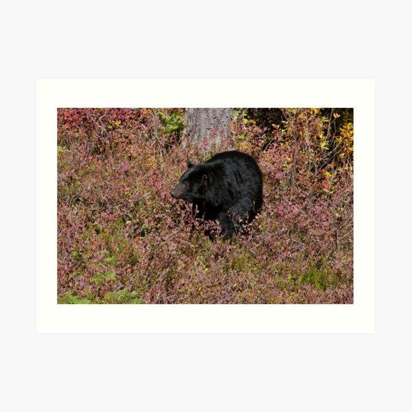 Black Bear on the Forbidden Plateau Art Print