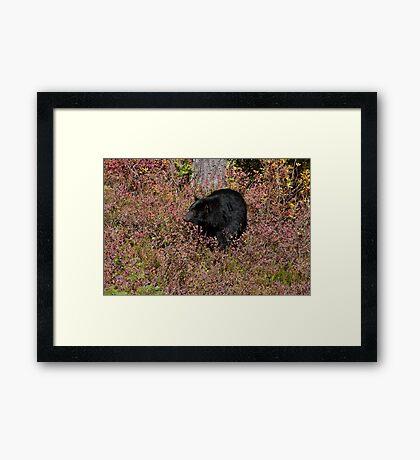 Black Bear on the Forbidden Plateau Framed Print