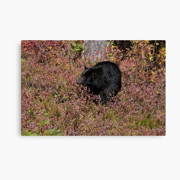 Black Bear on the Forbidden Plateau Canvas Print
