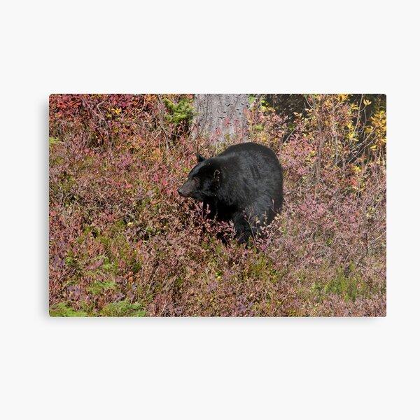 Black Bear on the Forbidden Plateau Metal Print