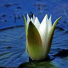 Water Lily #33 by Bevellee
