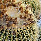 Golden Barrel Cactus, Geelong Botanic Gardens by Leanne Nelson