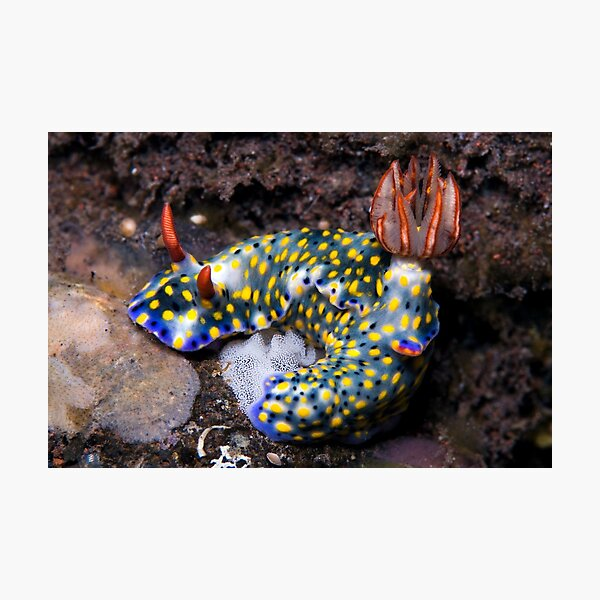 Nudibranch with eggs  Photographic Print