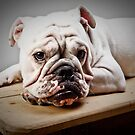 English Bulldog by Carlos Restrepo