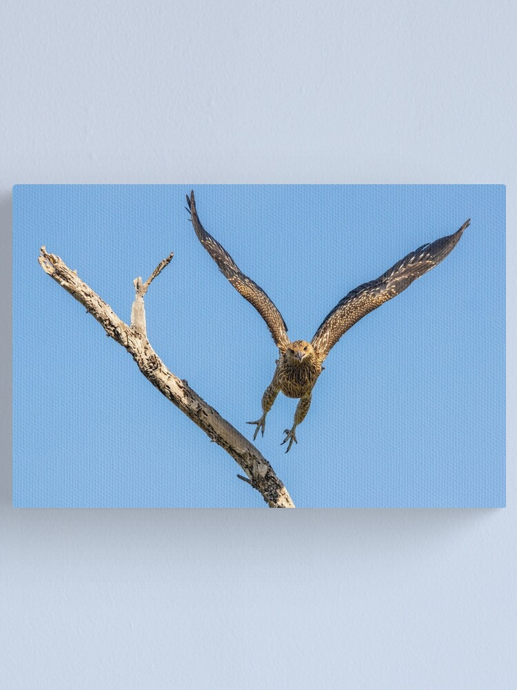 Alternate view of Whistling Kite, Northern Territory Canvas Print