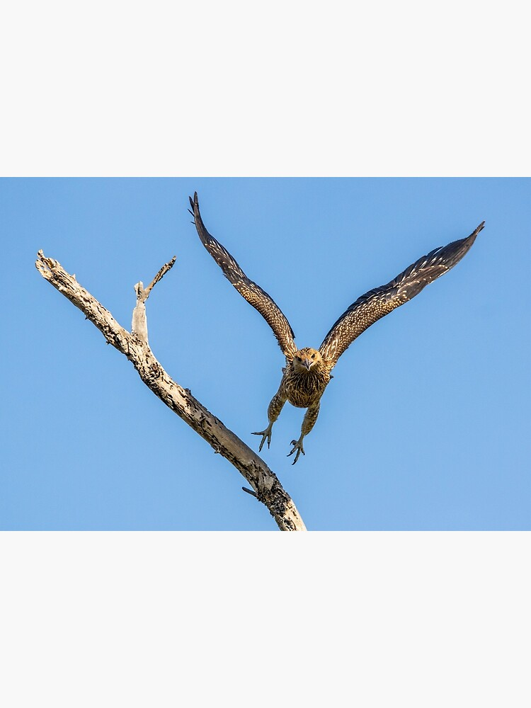 Whistling Kite, Northern Territory by AndrewGoodall